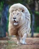 Most handsome Lion