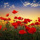 ~Poppy Sunset~