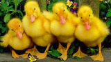 Duckling can-can.............................................x