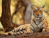 Cats - Tiger