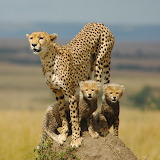 ☺ Cheetah mother and her cubs...