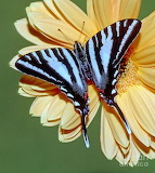 Butterflies - Zebra Swallow tail