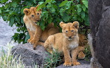 lions, cubs