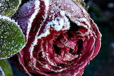 Red rose in frost
