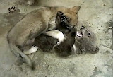 Grizzly-Bear-Cub-Wolf-Cub-Playing