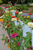 ^ Zinnias along the white picket fence
