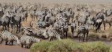 1200px-Zebra Herd Michael makalundwa
