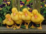 Cute-baby-ducks-8557-hd-wallpapers