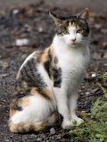 Calico Cat near Sagami River