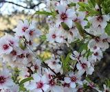 fleurs-pommiers