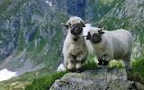Valais Blacknosed Sheep. Valais. Switzerland