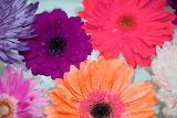 Colourful Daisies