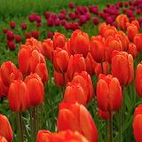 ☺ Beautiful tulips...