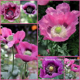 Poppies pinl