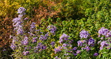 Wildflower New England Asters