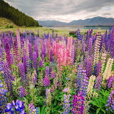 ^ South Island of New Zealand field of Lupines
