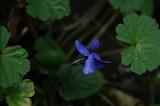 Violette / Violet
