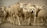 Sheep with their herding dog