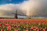 Field, landscape, nature, tulips, mill, windmill, flowers