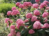 pink hydrangea annabelle,flower