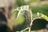 spiderweb with dew / toile d'araignée avec la rosée
