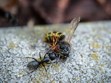 Ant with Wasp