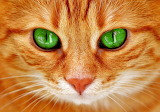 Cat-orange-with-green-eyes