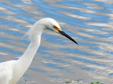 Egret Looking