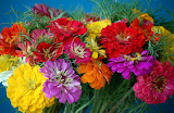 ^ Summer favorite, zinnias