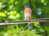 Male Eastern Bluebird on the wires above his nest box