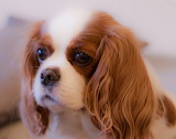 Beautiful young dog Cavalier King pup pictures