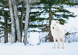 White Wolf - Alberta -Canada