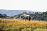 Wild horse near Medora