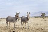 donkey in Somalia