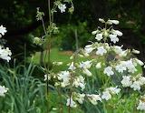 Wildflower Beardtongue Foxglove
