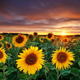 Sunflower Garden...