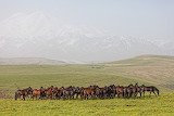 Herd-of-horses-on-a-summer-pasture-@Lenorlux