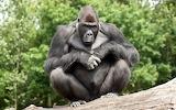 Pelea de gorilas
