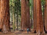 Giant Sequoia and Kings Canyon Park California USA