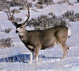 Mule-Deer