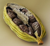 Open Chocolate Seed Pod