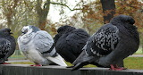 Pigeons for the Pigeonnier