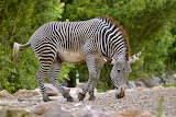 Zebra, Samburu National Park, Kenya
