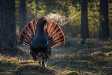 Capercaillie in the forest