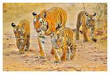 Tigers at Bandhavgarh National Park, India