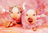The Dancing Piglets Take a Bow