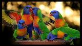 RainbowLorikeets3
