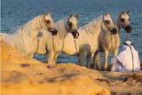 Arabian horses in the desert