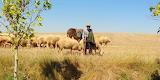Road Sheep