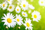Spring flowers daisy